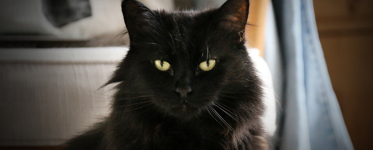 Domestic longhair black cat
